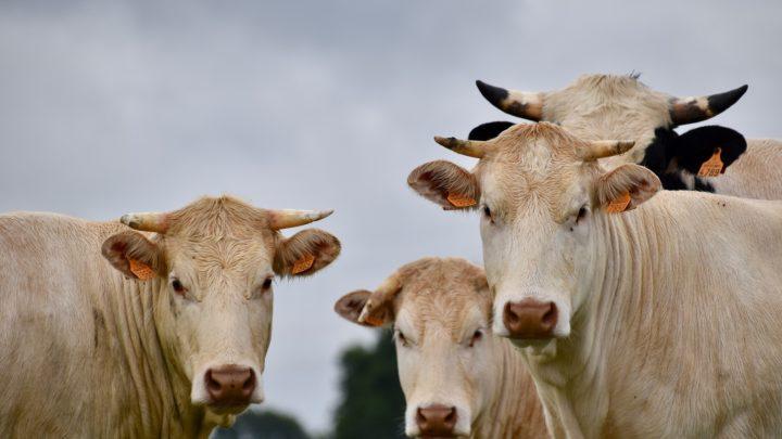 biologische koeien